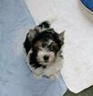 Small #1 Biewer Terrier