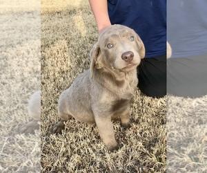 Labrador Retriever Puppy for Sale in TAYLOR, Texas USA