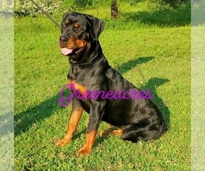 Rottweiler Puppy for sale in ZEBULON, NC, USA