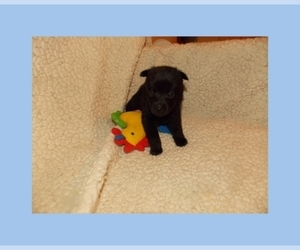 Schipperke Puppy for sale in OKC, OK, USA