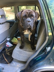 Cane Corso Puppy For Sale in ALBEMARLE, NC