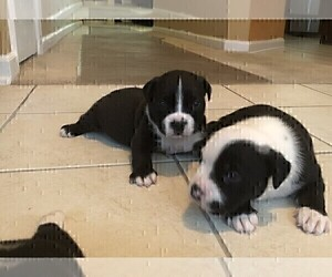 Bullypit Puppy for Sale in DINSMORE, Florida USA