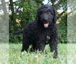 Puppy 11 Labradoodle-Poodle (Standard) Mix