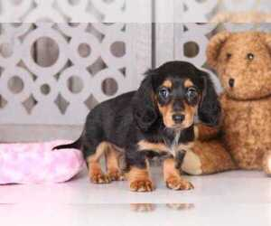 Dachshund Puppy for Sale in MOUNT VERNON, Ohio USA