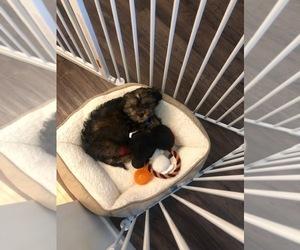 Cava-Tzu Puppy for sale in WHITTIER, CA, USA