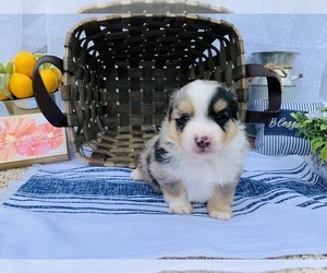 Australian Shepherd Puppy for sale in CASSVILLE, MO, USA