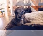 Puppy 0 Aussiedoodle-Labradoodle Mix