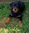 Rottweiler Puppy For Sale in PROSPERITY, SC,