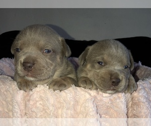 American Bully Puppy for Sale in CONCORD, California USA