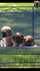 Mastiff Puppy For Sale in EASTMAN, GA