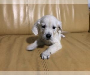 English Cream Golden Retriever Puppy for sale in RALEIGH, NC, USA