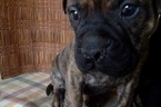Bullmastiff Puppy For Sale in MANASSAS, VA