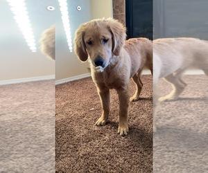 Golden Retriever Puppy for sale in ALBUQUERQUE, NM, USA