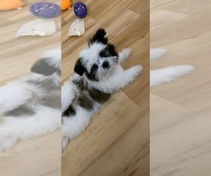 Shiranian Puppy for sale in AURORA, IL, USA