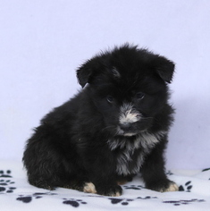 Shepadoodle Puppy For Sale in GAP, PA