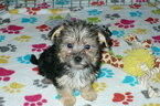 Morkie Puppy For Sale in ORO VALLEY, AZ, USA