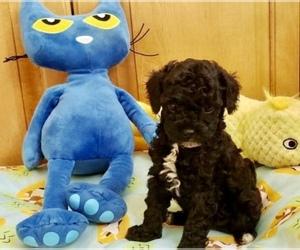 Puppyfinder com: Maltipoo puppies puppies for sale near me in