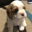 Cavalier King Charles Spaniel Puppy For Sale in RED BANK, NJ, USA