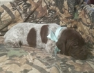 German Shorthaired Pointer Puppy For Sale in SUGARCREEK, OH
