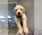 Small #5 Goldendoodle