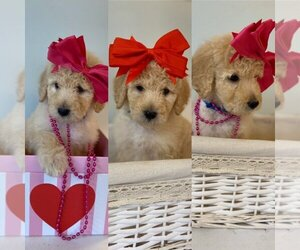 Goldendoodle Puppy for Sale in ZEBULON, North Carolina USA