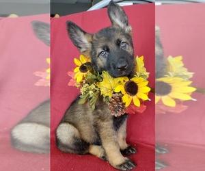 German Shepherd Dog Puppy for Sale in HOLDEN, Missouri USA