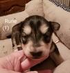 Puppy 5 Alaskan Malamute