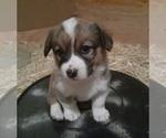 Puppy 5 Aussie-Corgi