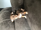 Chiweenie Puppy For Sale in FORT MYERS, FL, USA