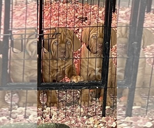 Dogue de Bordeaux Puppy for sale in LAGRANGE, IN, USA