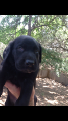 Labrador Retriever Puppy For Sale in INVERNESS, FL
