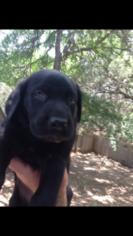Labrador Retriever Puppy For Sale in INVERNESS, FL