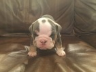 Bulldog Puppy For Sale in COLONY, OK, USA