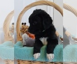 Small #4 Bernedoodle-Goldendoodle Mix