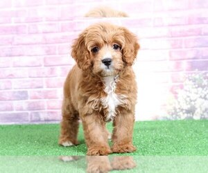 Cavalier King Charles Spaniel-Poodle (Toy) Mix Puppy for sale in BEL AIR, MD, USA