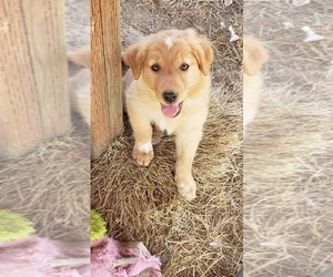 English Shepherd Puppy for Sale in MOLALLA, Oregon USA