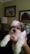 Shih Tzu Puppy For Sale in GRIFFIN, GA, USA
