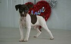 Fox Terrier (Toy) Puppy For Sale in FREDERICKSBG, OH, USA