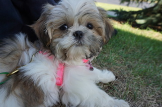 Poodle (Toy)-Shih Tzu Mix Puppy For Sale in MADISON, WI, USA