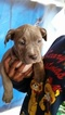 American Pit Bull Terrier-Staffordshire Bull Terrier Mix Puppy For Sale in SACRAMENTO, CA