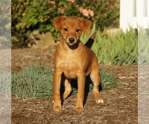 Miniature Pinscher Puppy for sale in FREDERICKSBG, OH, USA