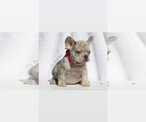 French Bulldog Puppy for Sale in APPLE VALLEY, California USA