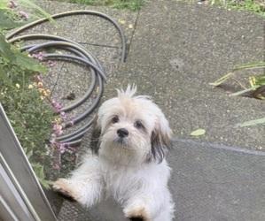 Zuchon Puppy for Sale in ATL, Georgia USA