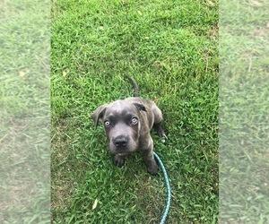 Cane Corso Puppy for sale in ATASCOCITA, TX, USA