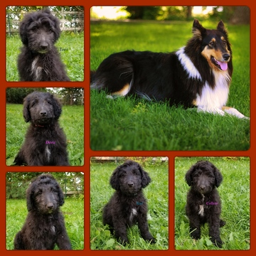Idaho Falls Dogs For Sale
