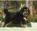 Puppy 6 Tibetan Mastiff