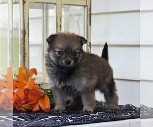 Pomeranian Puppy for sale in EAST EARL, PA, USA