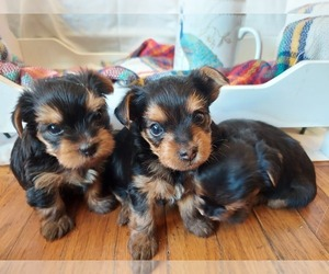 Yorkshire Terrier Puppy for Sale in OAKLAND, California USA