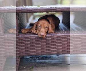 Vizsla Puppy for Sale in ROGERS, Arkansas USA