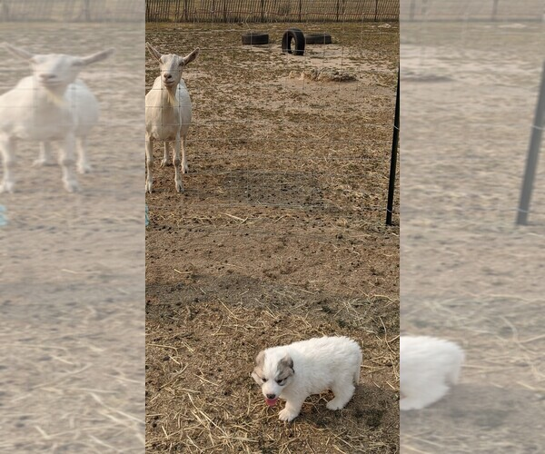 Medium Photo #112 Great Pyrenees Puppy For Sale in FALCON, CO, USA